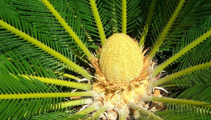 care-sago-palm-trees