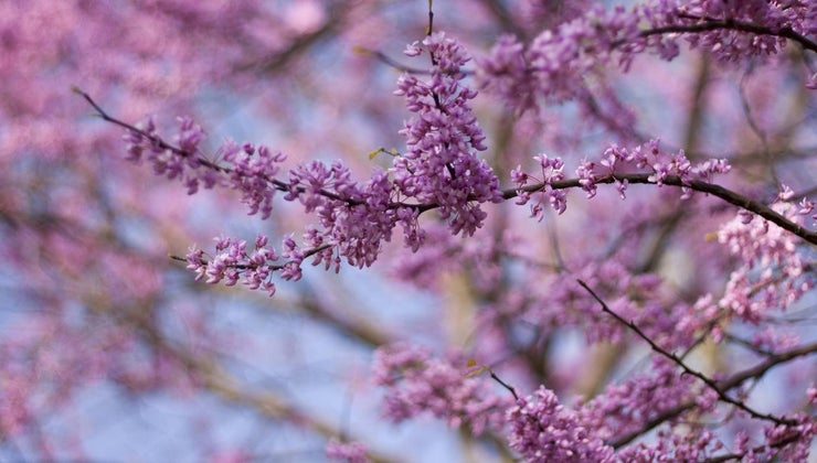 care-weeping-redbud-tree