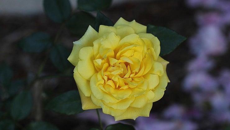 cause-brown-leaves-rose-bush