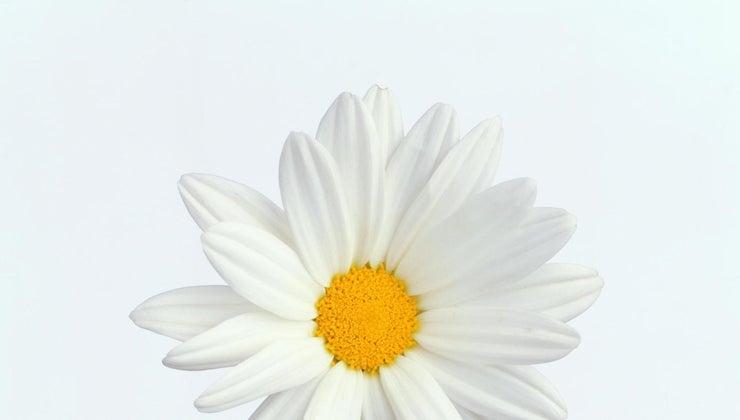 center-daisy-called