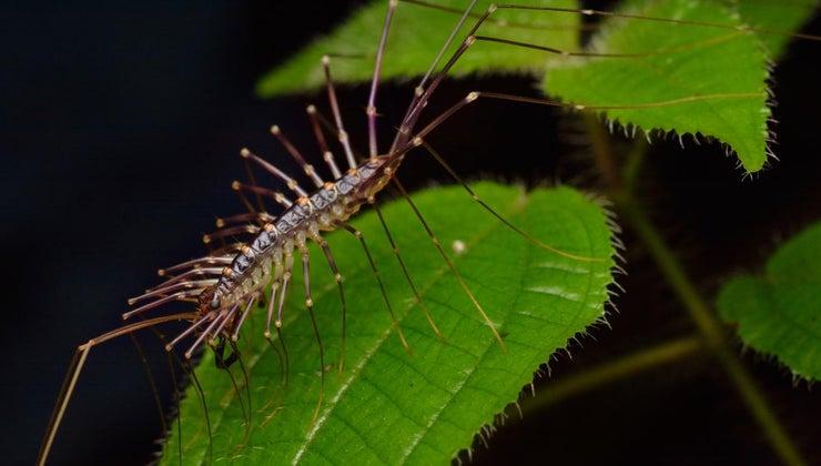 centipede-bite-look-like