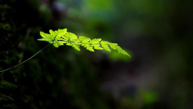 characteristics-ferns