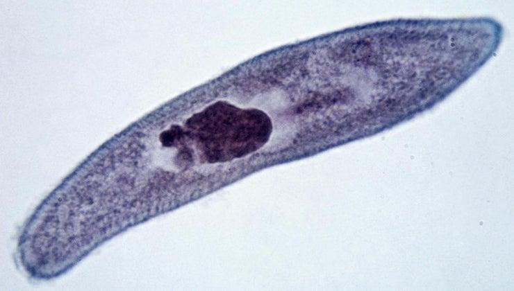 characteristics-paramecium