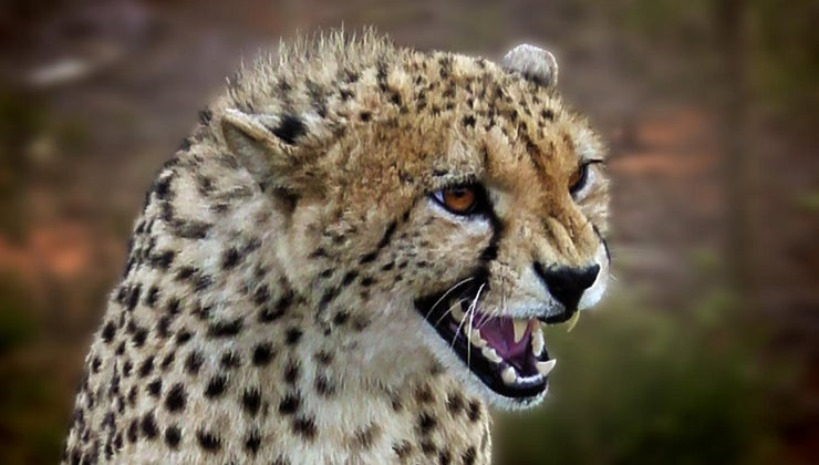 cheetah-defend-itself