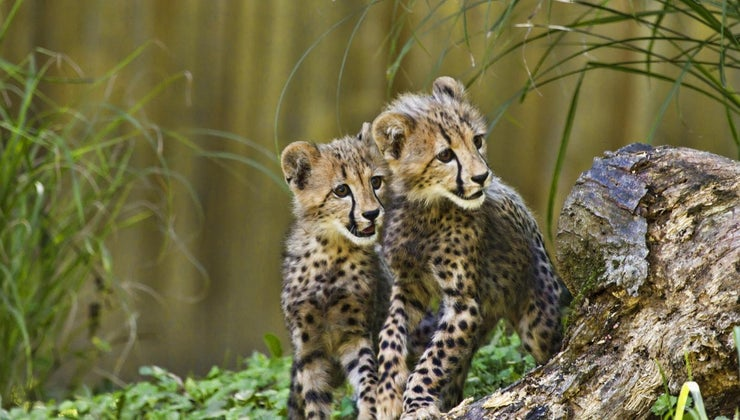 cheetahs-care-young