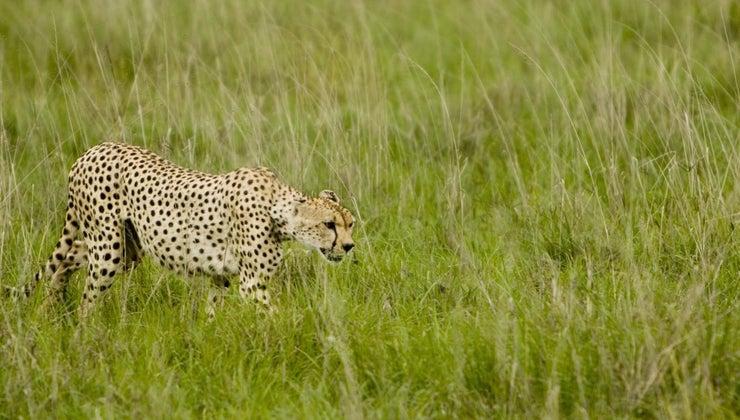 cheetahs-survive-wild