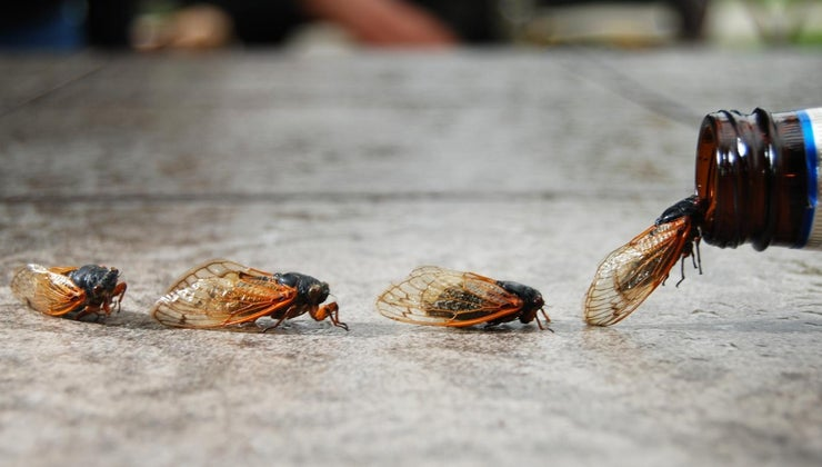 cicadas-live