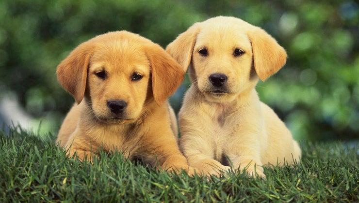 coats-dark-golden-retriever-puppies-change-over-time