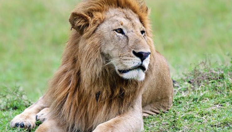 color-lion-s-eyes
