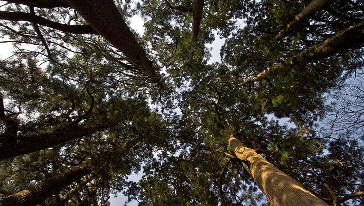common-characteristics-cedar-trees