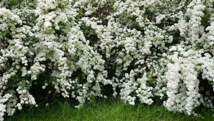 common-varieties-spirea