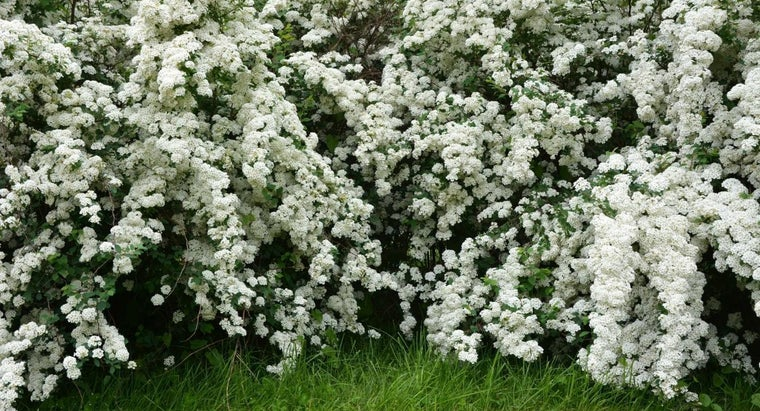 common-varieties-spirea