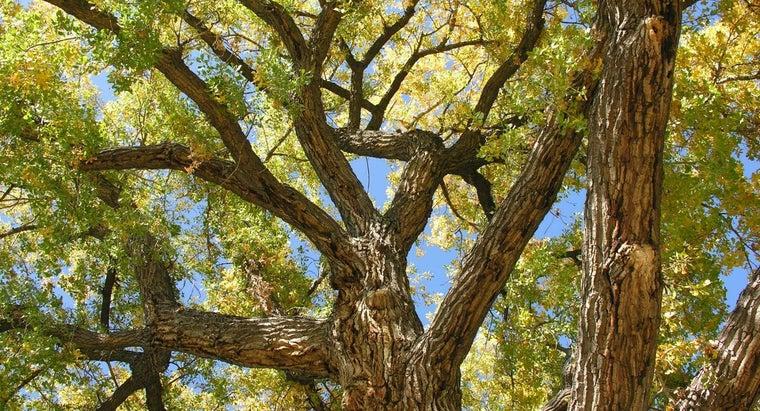 cottonless-cottonwood-tree