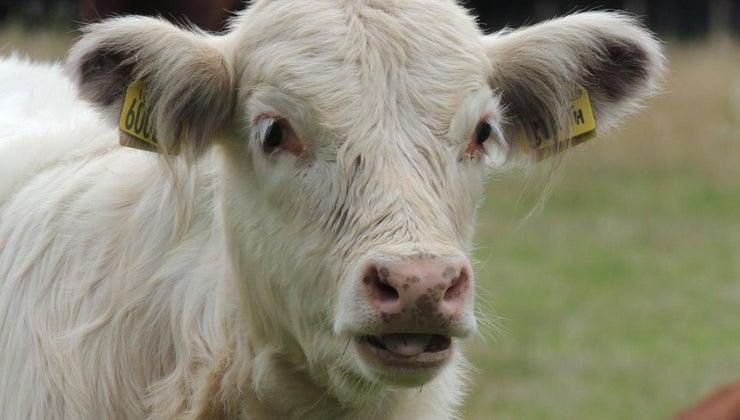 cows-drink-milk