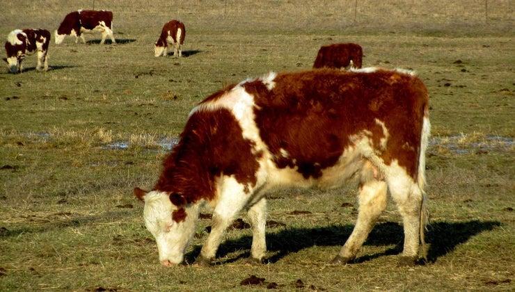 cows-eat
