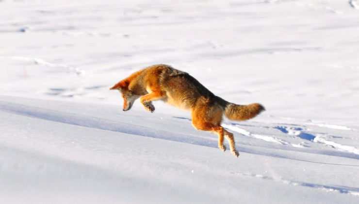 coyotes-live