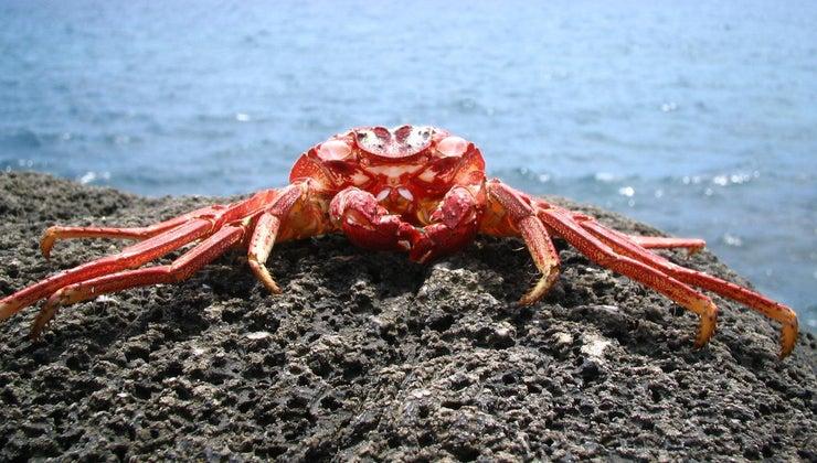 crabs-live