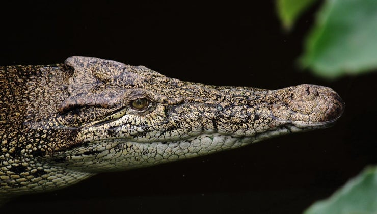 crocodiles-adapt-environment