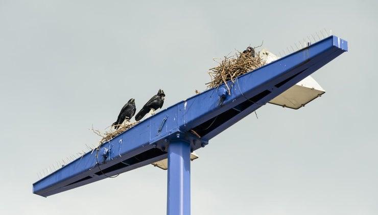 crows-build-nests
