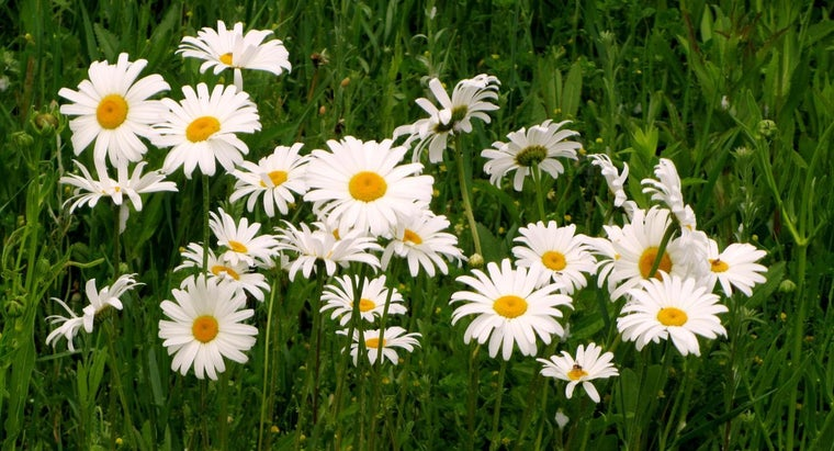 daisies-bloom