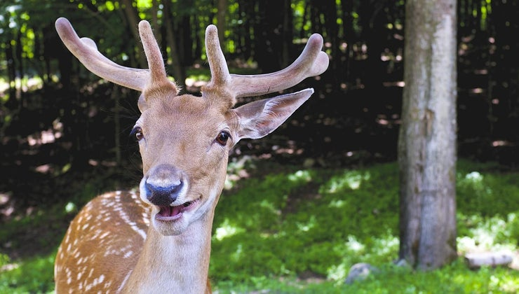 deer-upper-teeth