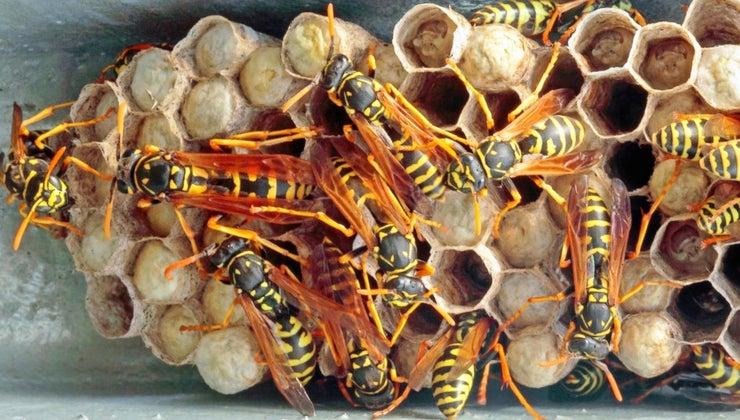 destroy-wasp-nests