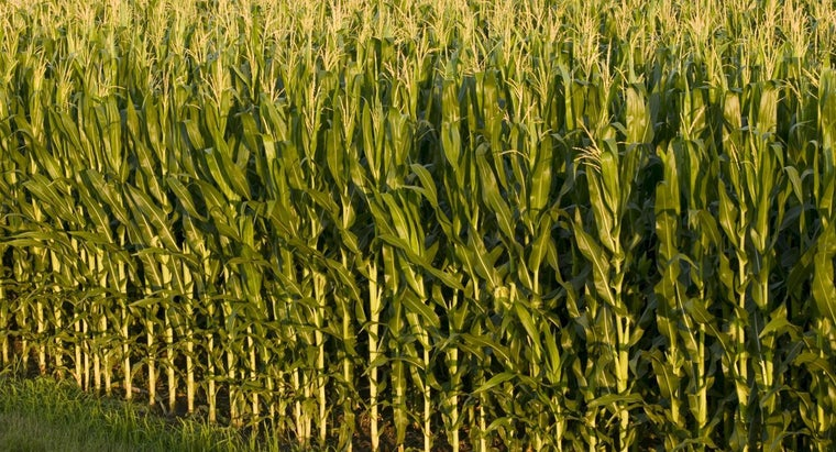 difference-between-corn-maize