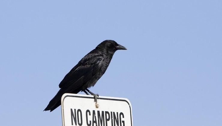 difference-between-crow-blackbird