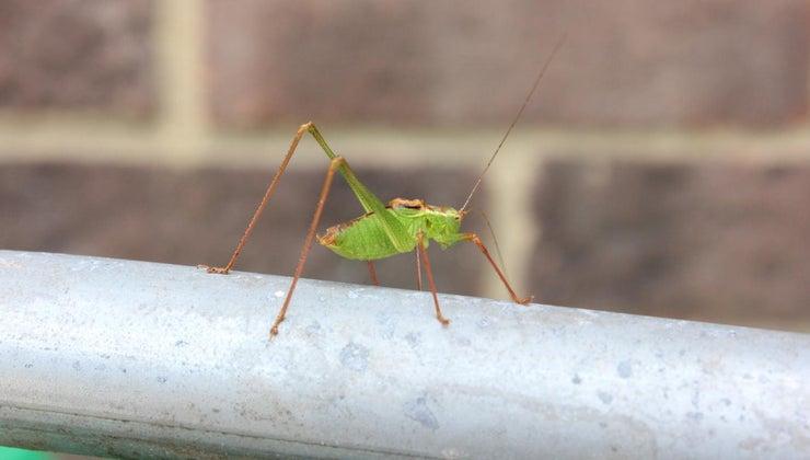difference-between-grasshopper-cricket