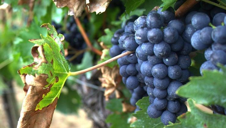 difference-between-merlot-cabernet-sauvignon