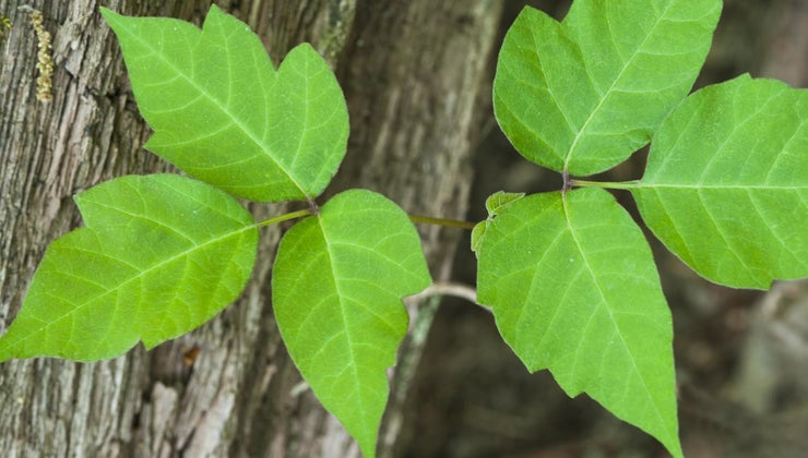 difference-between-poison-oak-poison-ivy