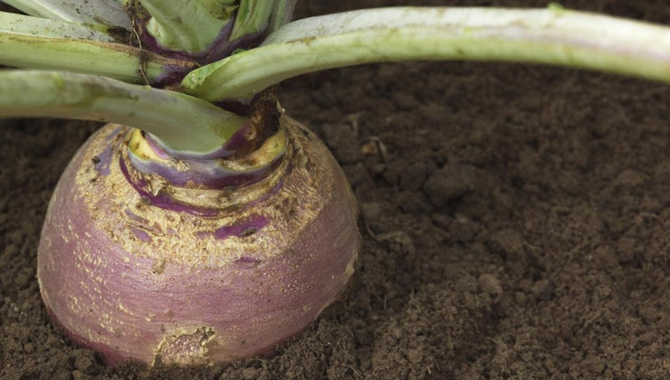 difference-between-turnip-swede