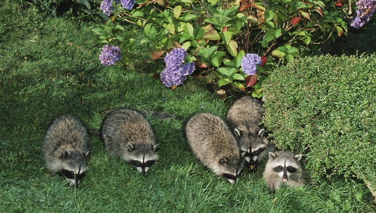 different-types-raccoons