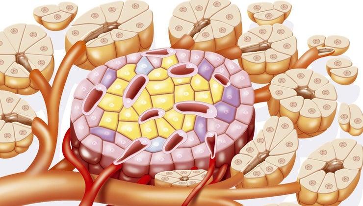 digestive-endocrine-systems-work-together
