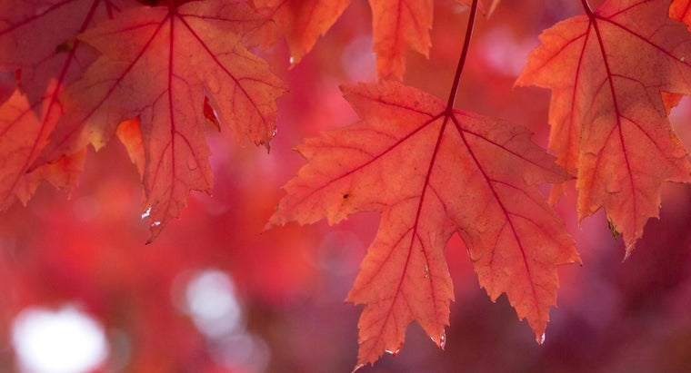 diseases-can-infect-maple-tree