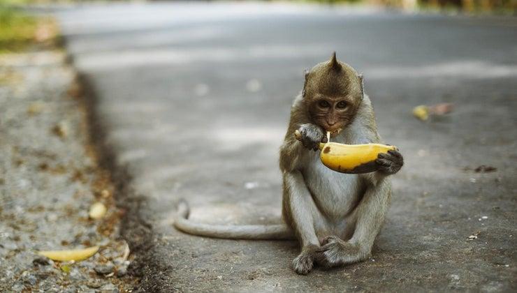 monkeys-eat-meat