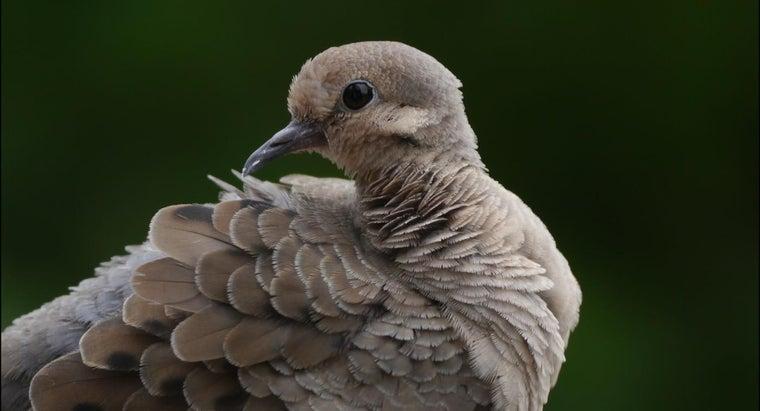 doves-look-like
