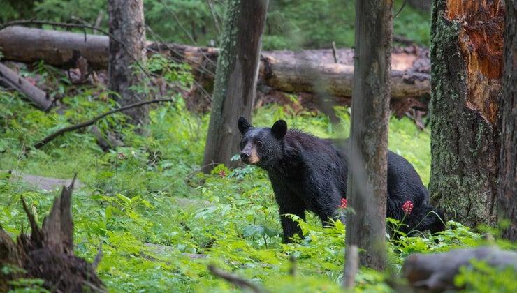 eats-bear