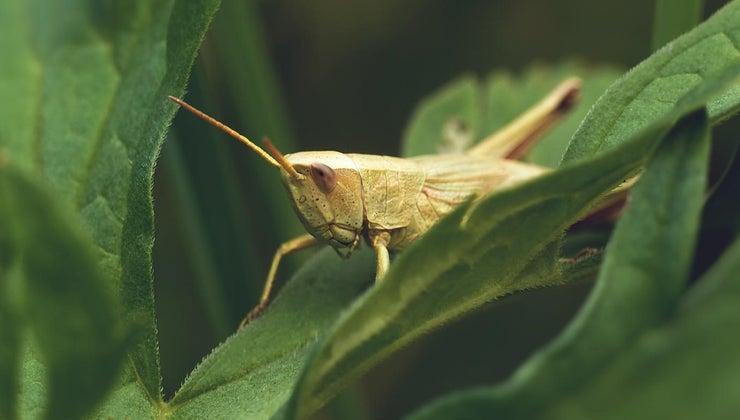 eats-grasshopper-food-chain
