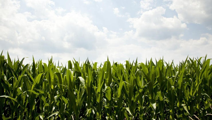 economic-importance-maize