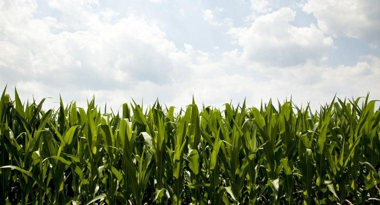 economic-importance-maize