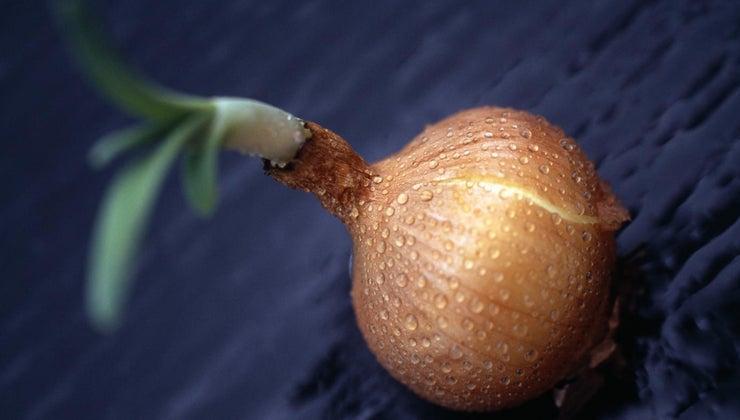 edible-part-onion-plant