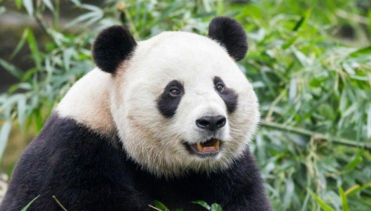 enemies-giant-panda