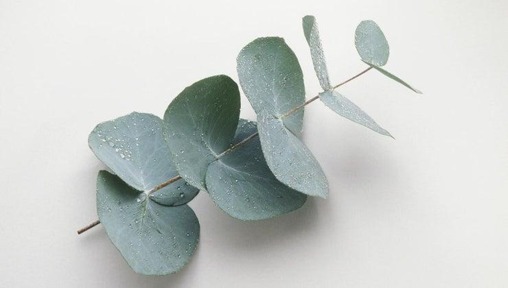 eucalyptus-poisonous-dogs