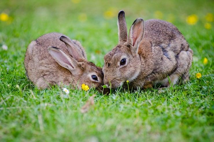 European Rabbits Bunnies Grass Wildlife