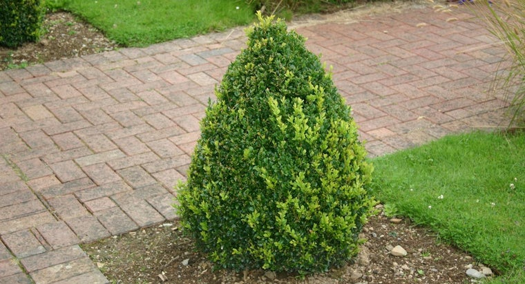evergreen-bushes-turn-brown