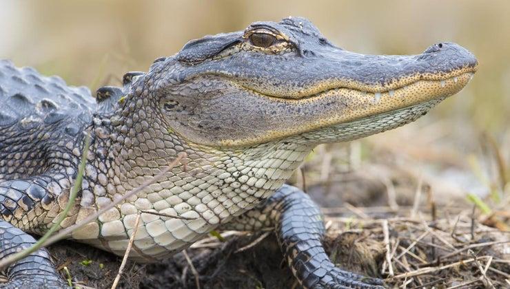 fast-can-alligators-run-land