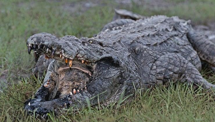 fast-can-crocodile-run