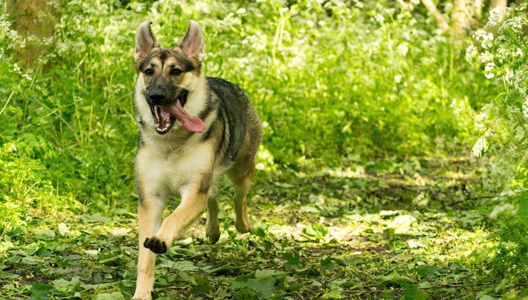 fast-can-german-shepherd-run