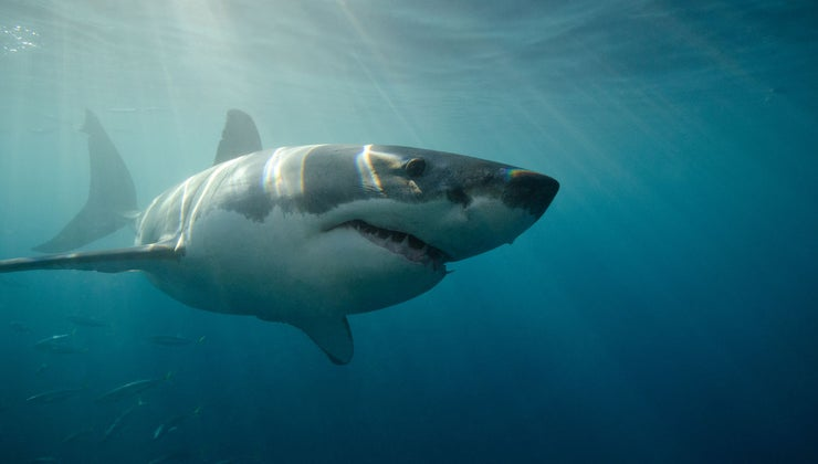 fast-can-great-white-shark-swim